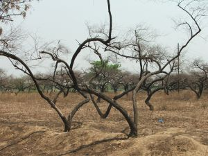 1216977_lifeless_trees_on_parched_land_1[1]